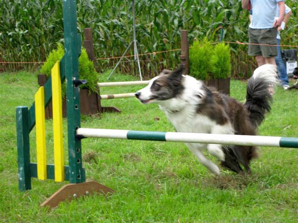 A Collie at a dog agility event